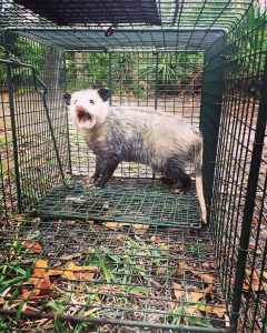 Hunters Creek Opossum Removal