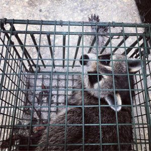 Hunters Creek Raccoon Removal