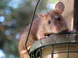 Lake Mary Rat Removal