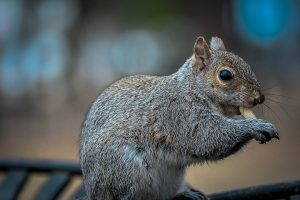 St. Cloud Squirrel Removal